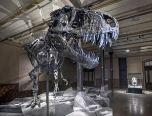 Berliner Naturkundemuseum zeigt originales T-rex-Skelett